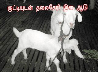 thaliseri aadu