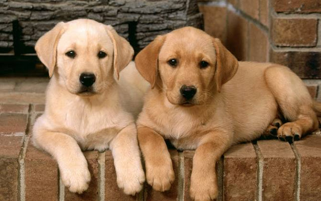 wallpapers of dogs & puppies