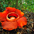 Giant Rafflesia - Largest flower in the world