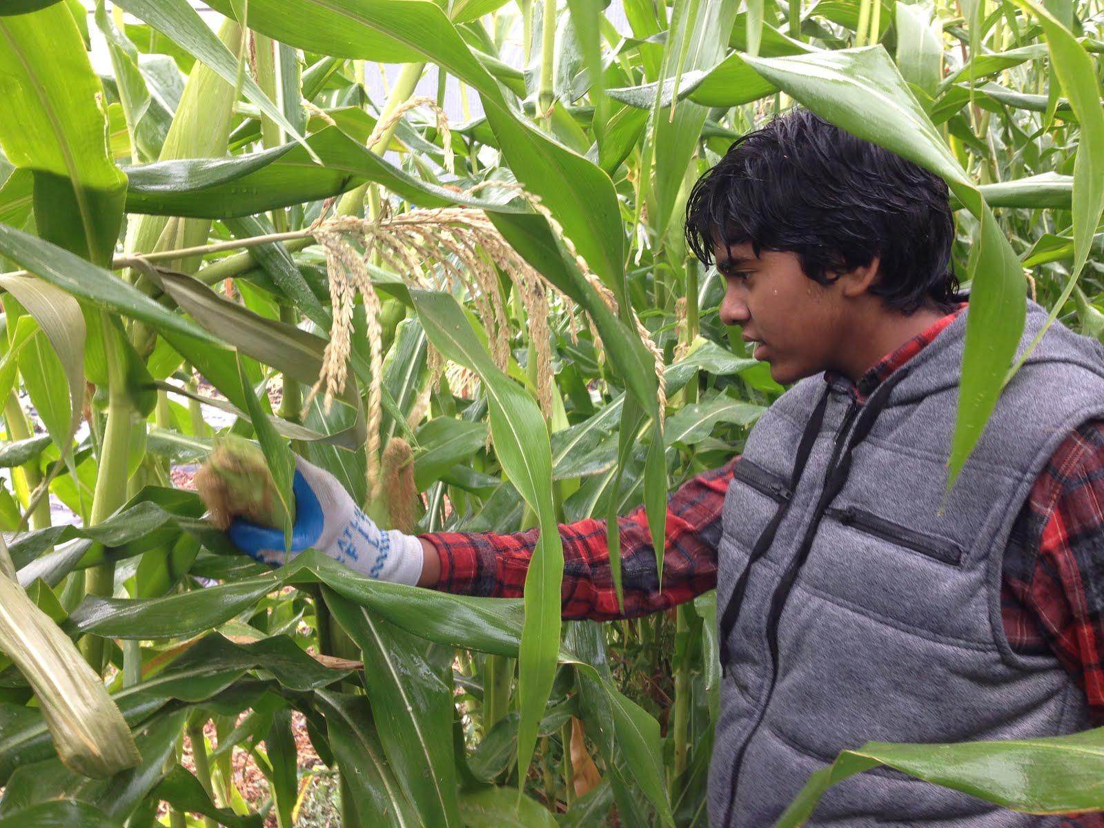 Picking Corn