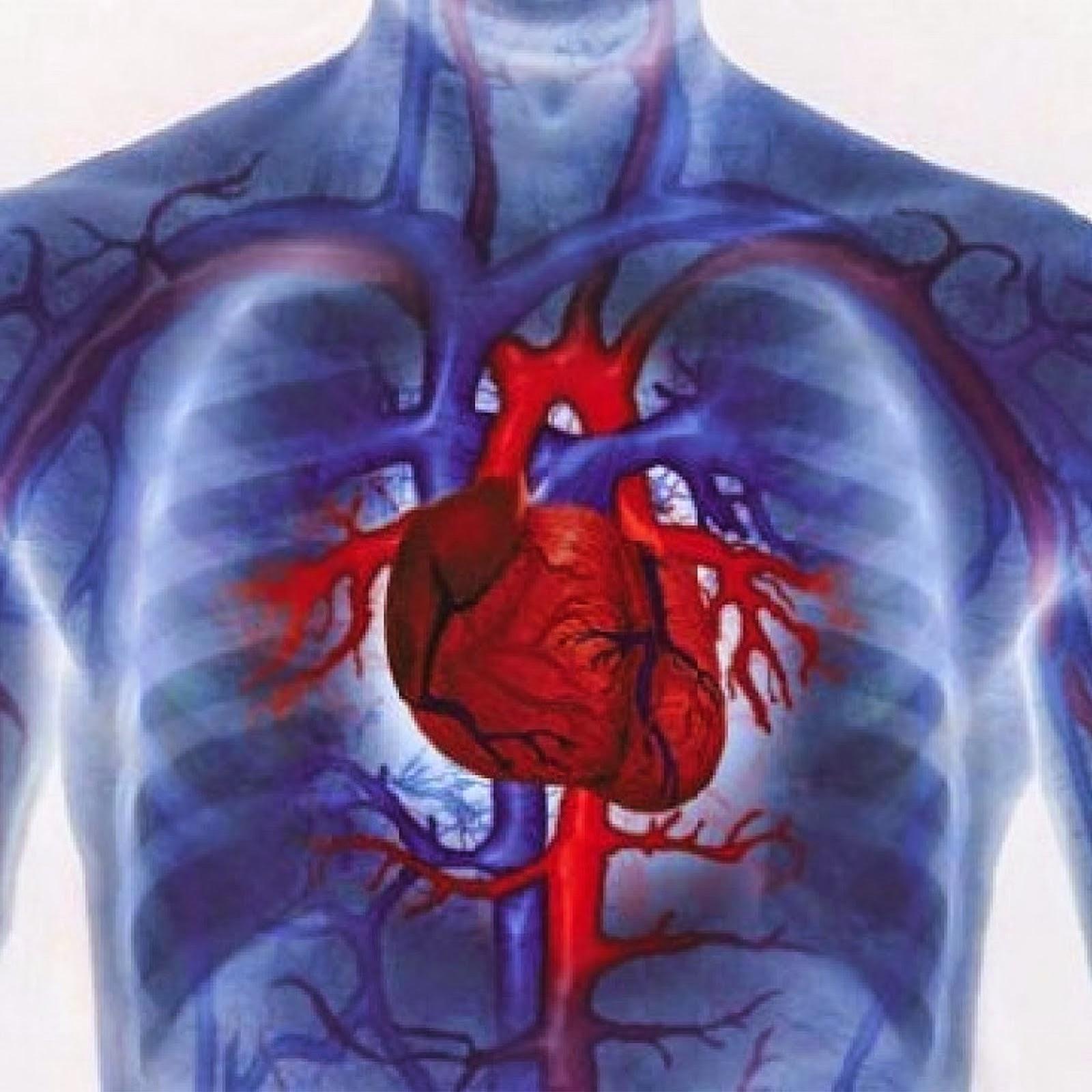 Сердце располагается горизонтально беременных