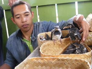 burung jalak suren kelangkaan burung jenis jalak uren atau jalak ...