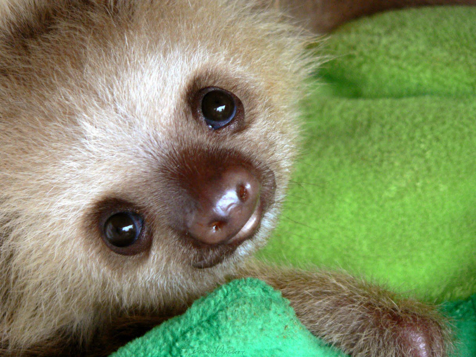 Violet darkling funny little sloths - Funny sloth pics ...