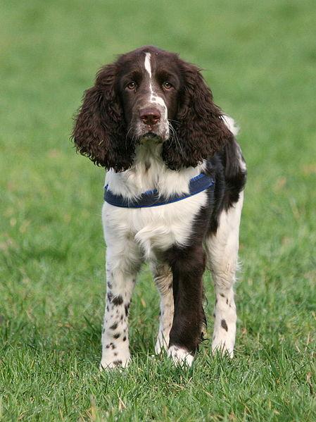 dogs English Springer Spaniel dog