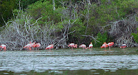 Flamingos at The Wetlands, Isabela Island, Galapagos