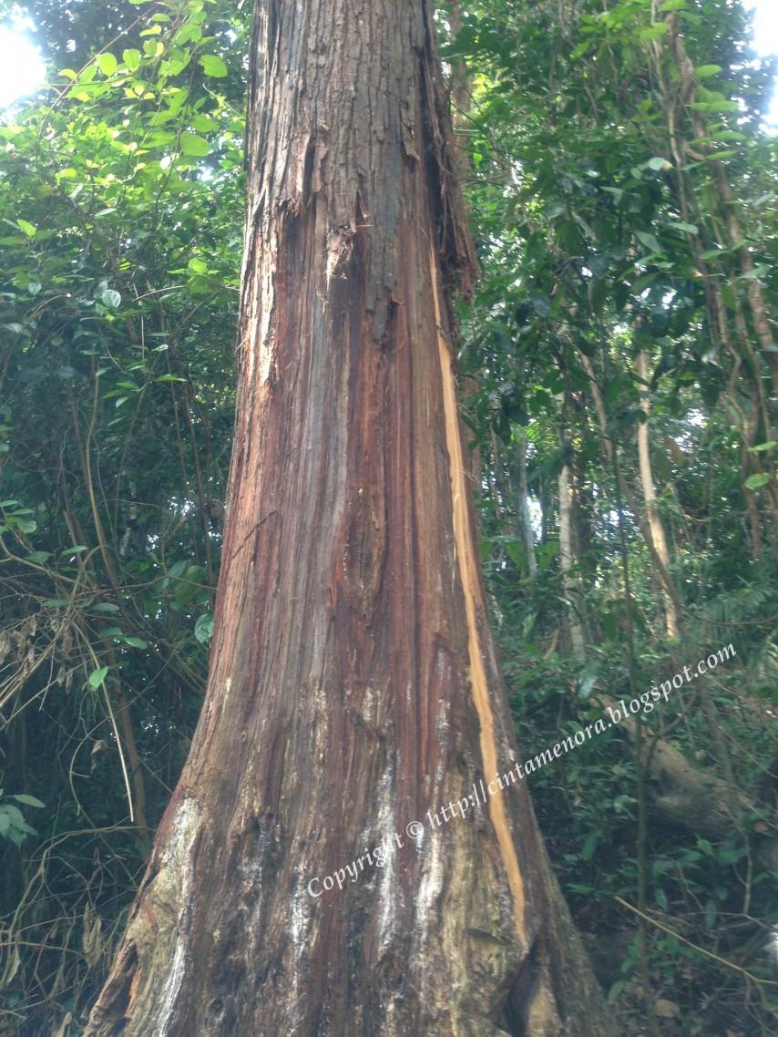 batang pokok kemenyan