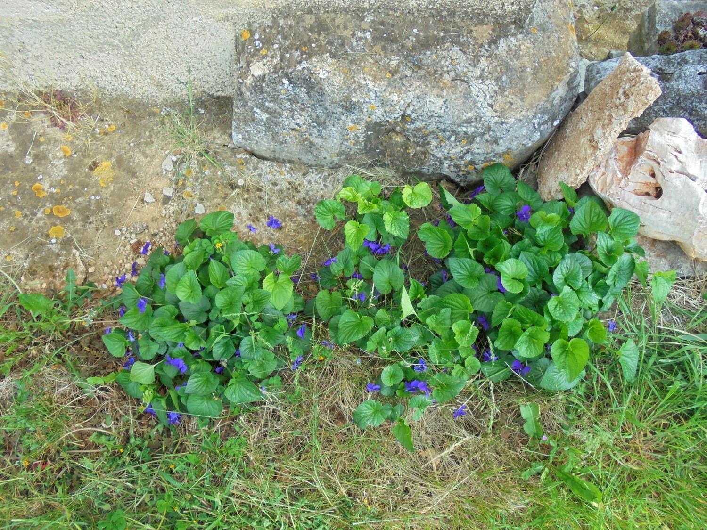 Zimzeleni cvijet: Proljetno cvijeće