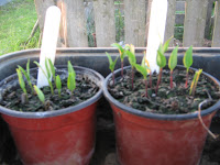 Saved seed from chillis of last year have germinsted well. Bell peppers too.
