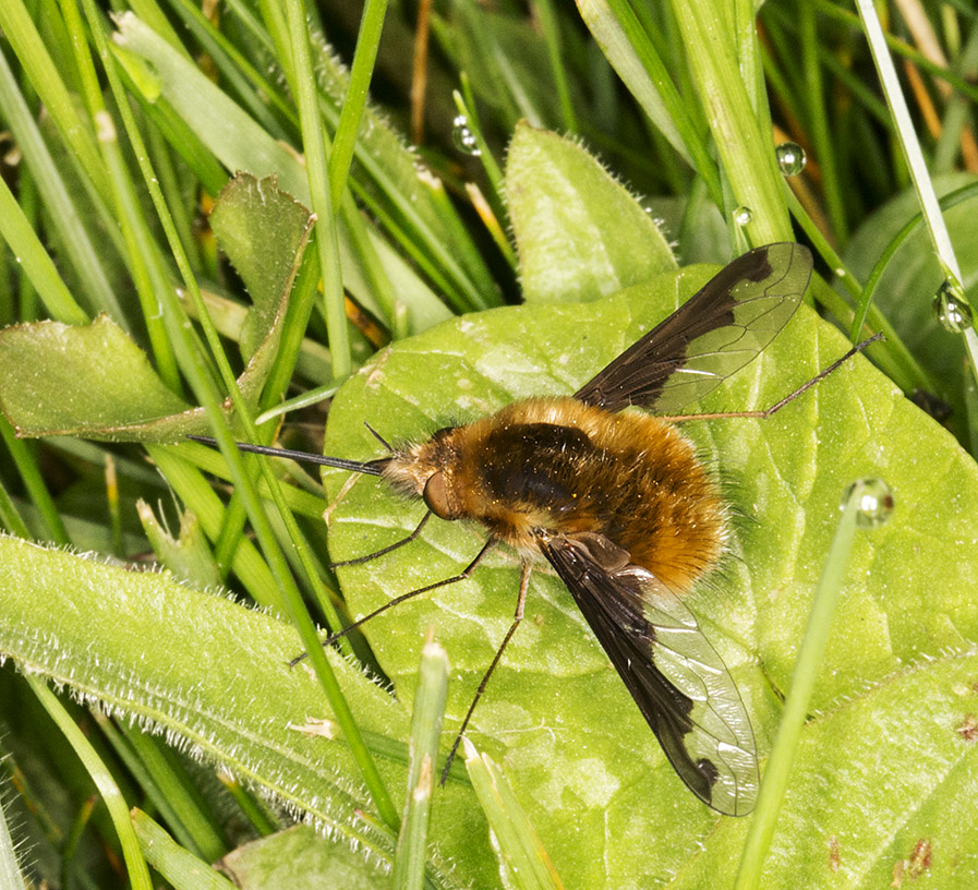 Beefly, Bombylius major.  Churchyard of the Church of St. Mary, Kemsing, with the Orpington Field Club on 12 April 2014.