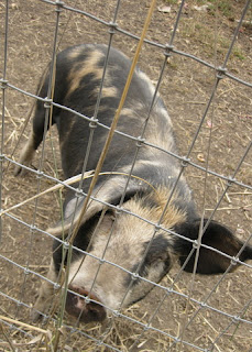 Curious young mottled pig sniffs us through a wire fence.