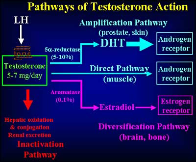 testosterone mechanism images
