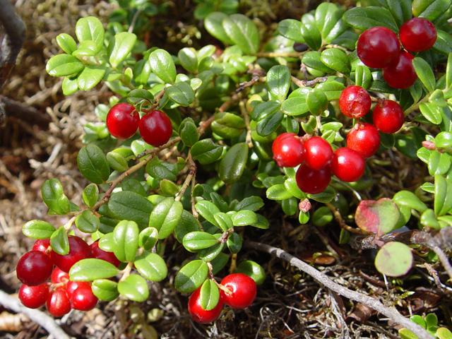 Cranberry vaccinium ericaceae health and natural for Vaccinium macrocarpon