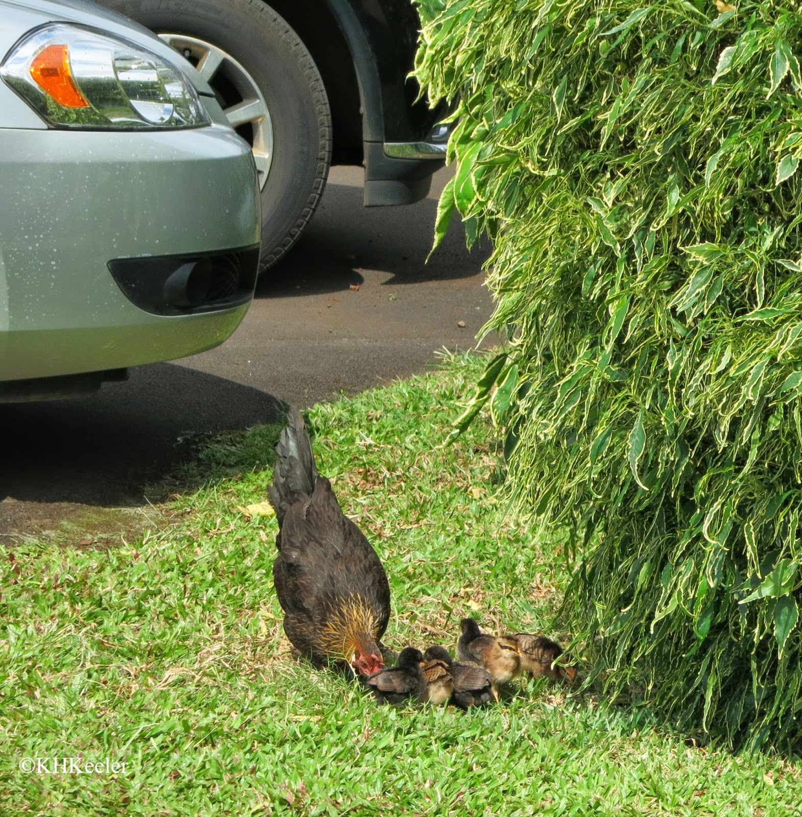 hen and chicks, Kauai