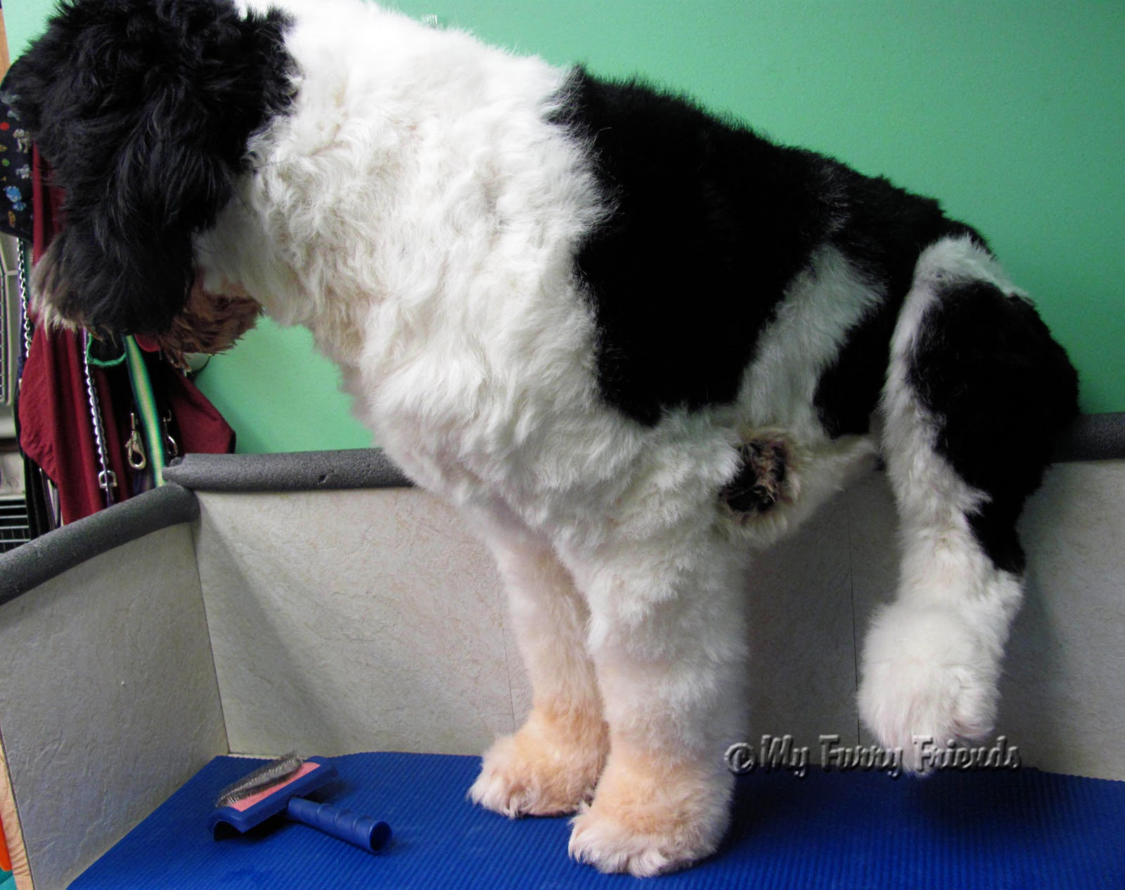 He actually was very good on Portuguese Water Dog Good Bad