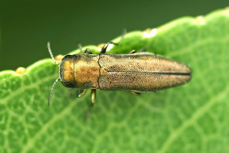 Agrilus margotanae