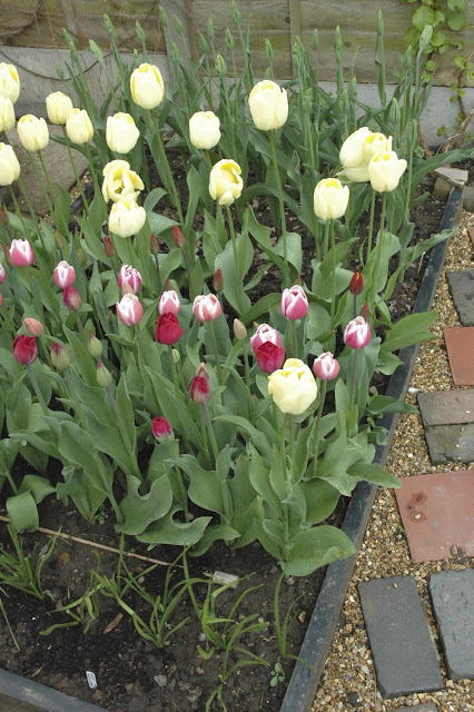 It may have taken a long time for them to arrive this year, but when they did, the tulips made it in style.
