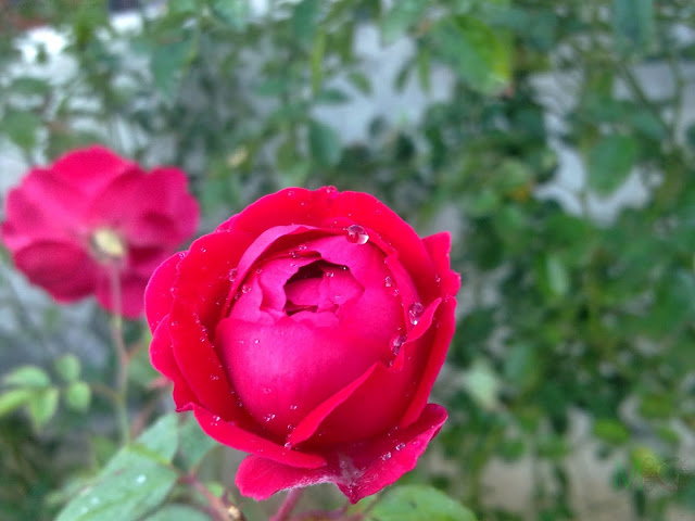 Metro Greens: Red Rose Bloom