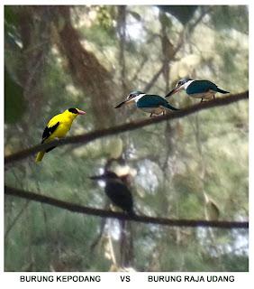 Gambar burung raja udang dan burung kepodang