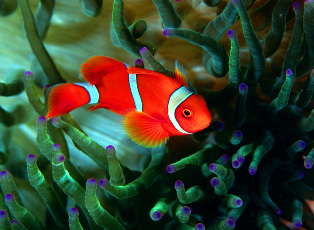 Welcome to of jake 39 s rolex world for Pictures of clown fish