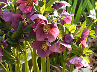 Hellebore 'Early Purple'