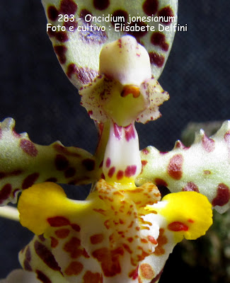 Oncidium jonesianum Reichb.f. do blogdabeteorquideas