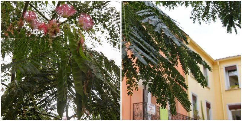 Silketræ