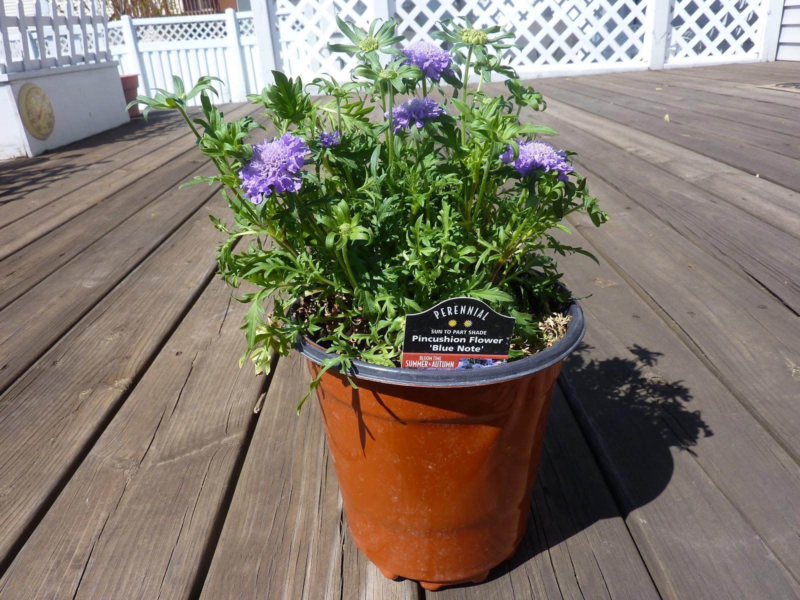Cozy Thyme Cottage Pincushion Flowers Purple Salvia Celery