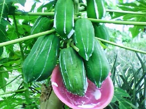 manfaat getah buah pepaya