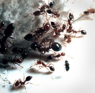 tentera semut