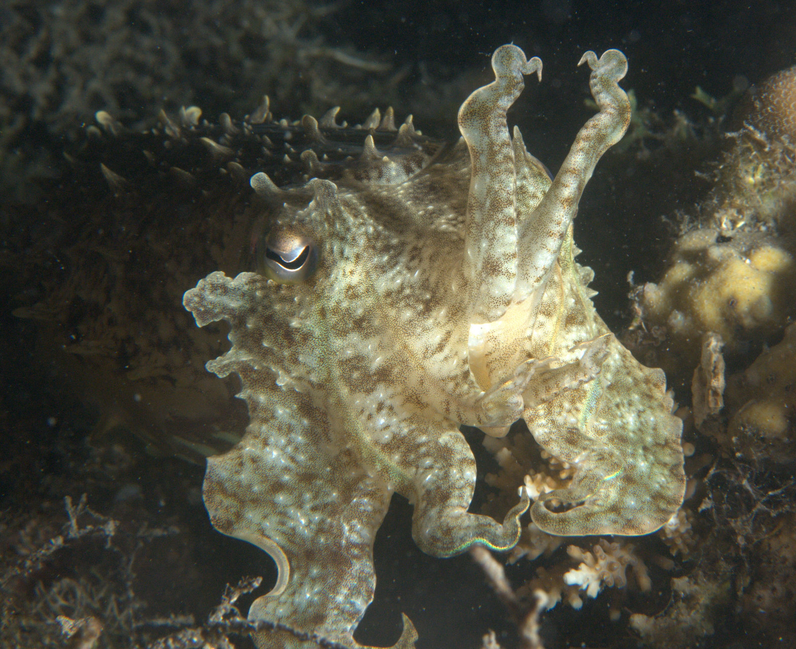 under pressure world: Broadclub Cuttlefish series- Anialo, Philippines