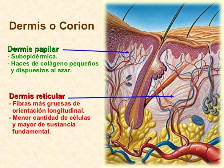 La dermis está formada principalmente por tejido conectivo y en ella se  incluyen también vasos sanguíneos 74500b8b7f1f