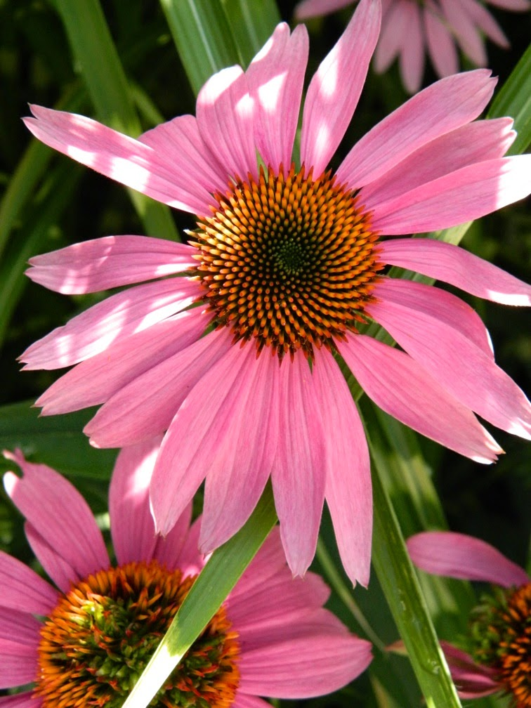Echinacea purpurea Purple Coneflower by garden muses-not another Toronto gardening blog