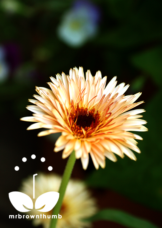 Calendula officinalis 'Zeolights'