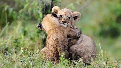 animal-hugging-lion-cubs-wallpepars
