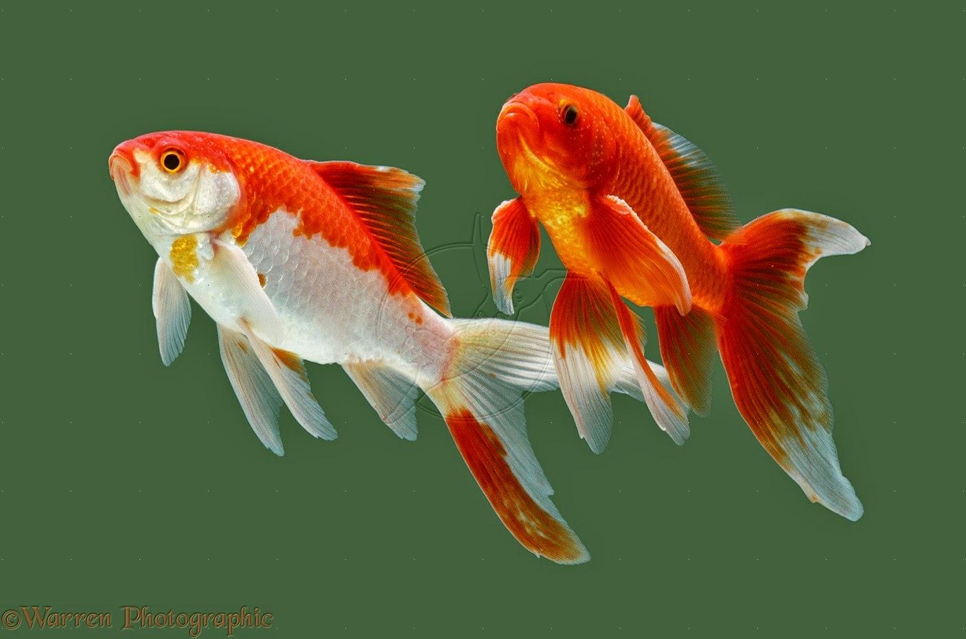 Thader tendencias mascotas el goldfish for Comida congelada para peces