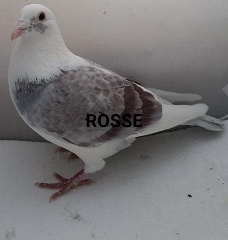 ROSSE