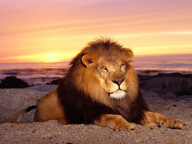 Член льва проникает в львицу фото 167-52