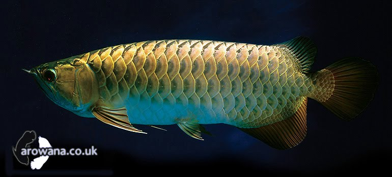 Asian Arowanas Fish Photos