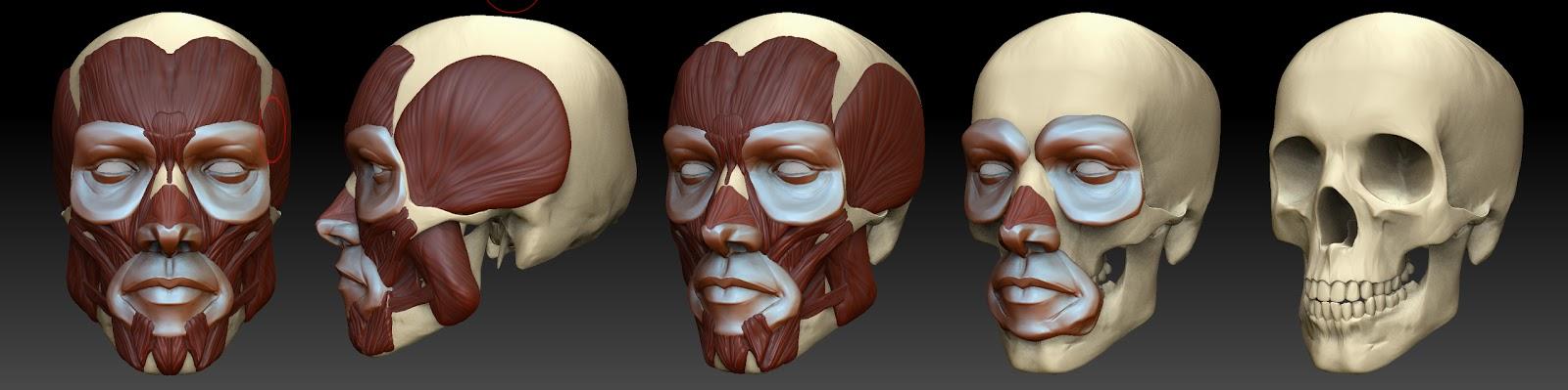 Anatomy Face Artists Zbrush