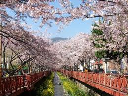 cherry blossom in korea