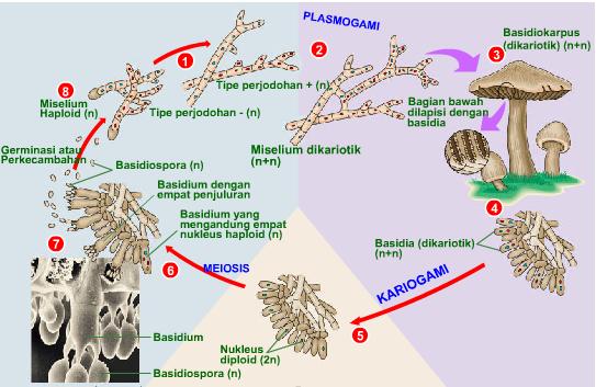 Reproduksi seksual jamur Basidiomycota