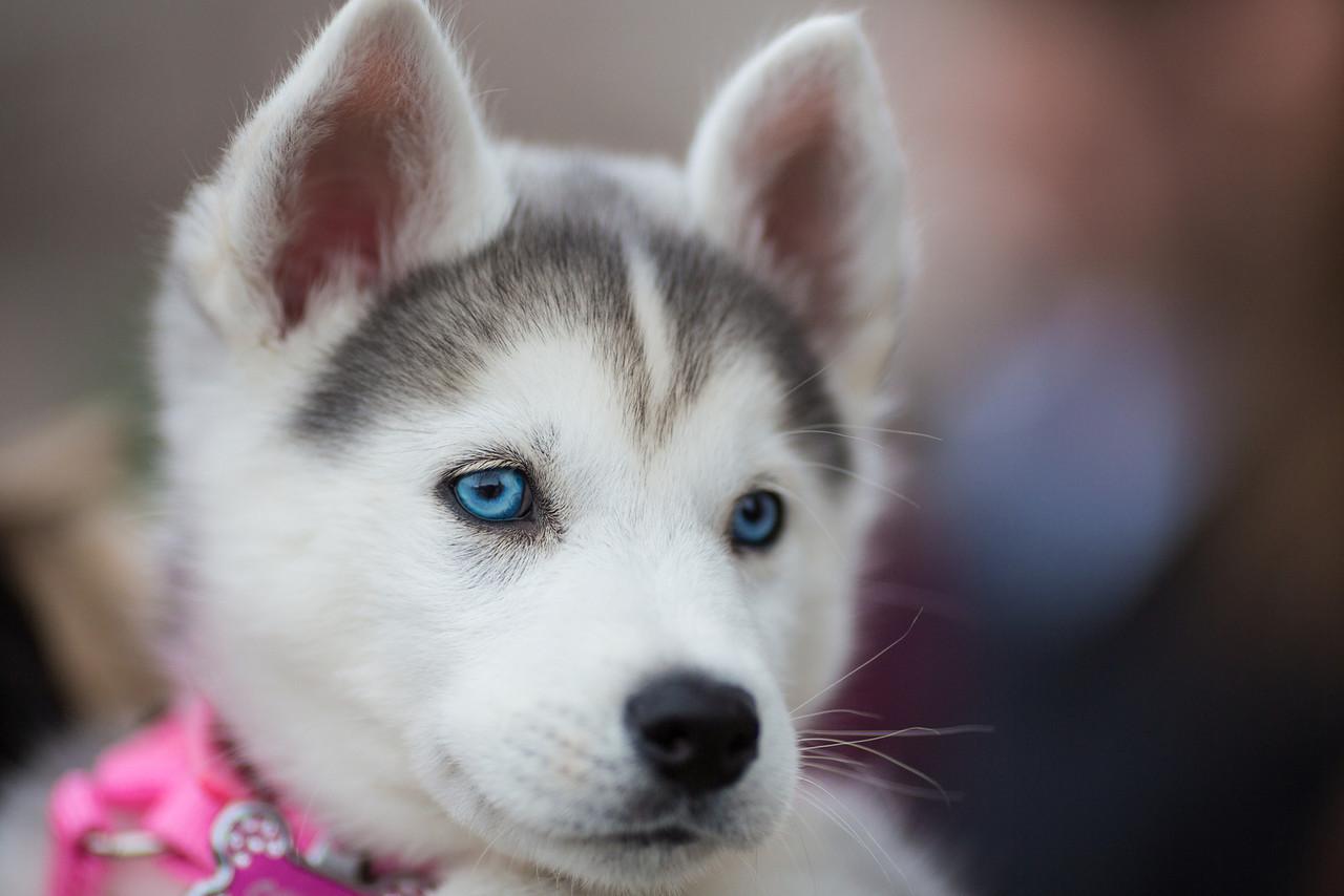 7 Jenis Anjing Yang Mirip Serigala