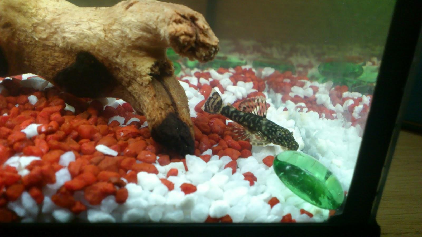 sugefisk i akvarium