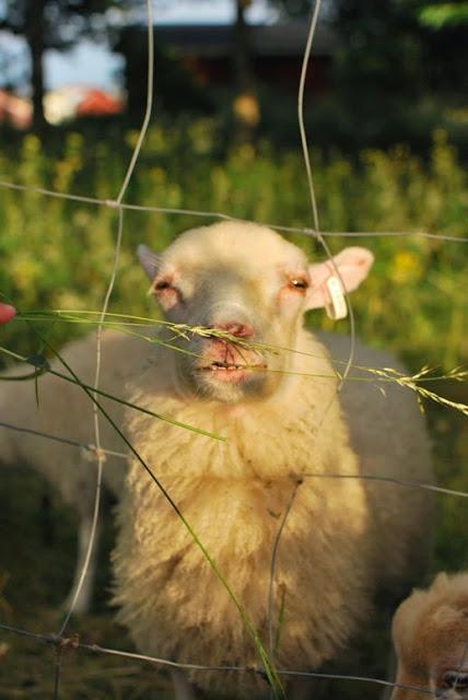 Utö - Lampaita syöttämässä