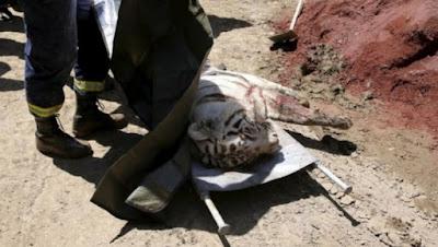 Ngeri.. Nih Foto Seekor Harimau Putih Memakan Manusia di Tengah Kota