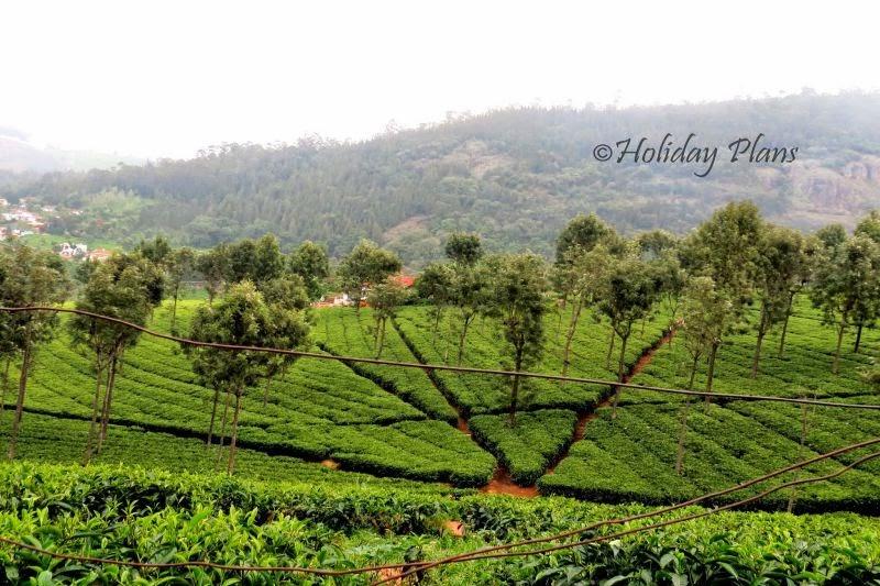 Tea Plantations at Conoor