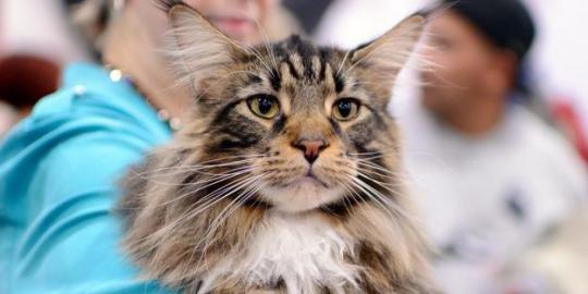 Kucingku Sayang 10 Kucing Termahal Di Dunia