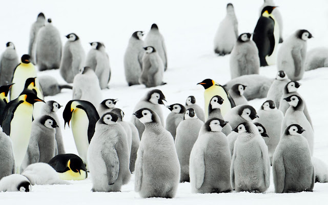 Wallpaper with a group of penguins in the snow