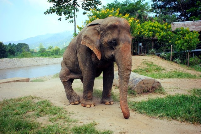 Elephant rehabilitation Thailand