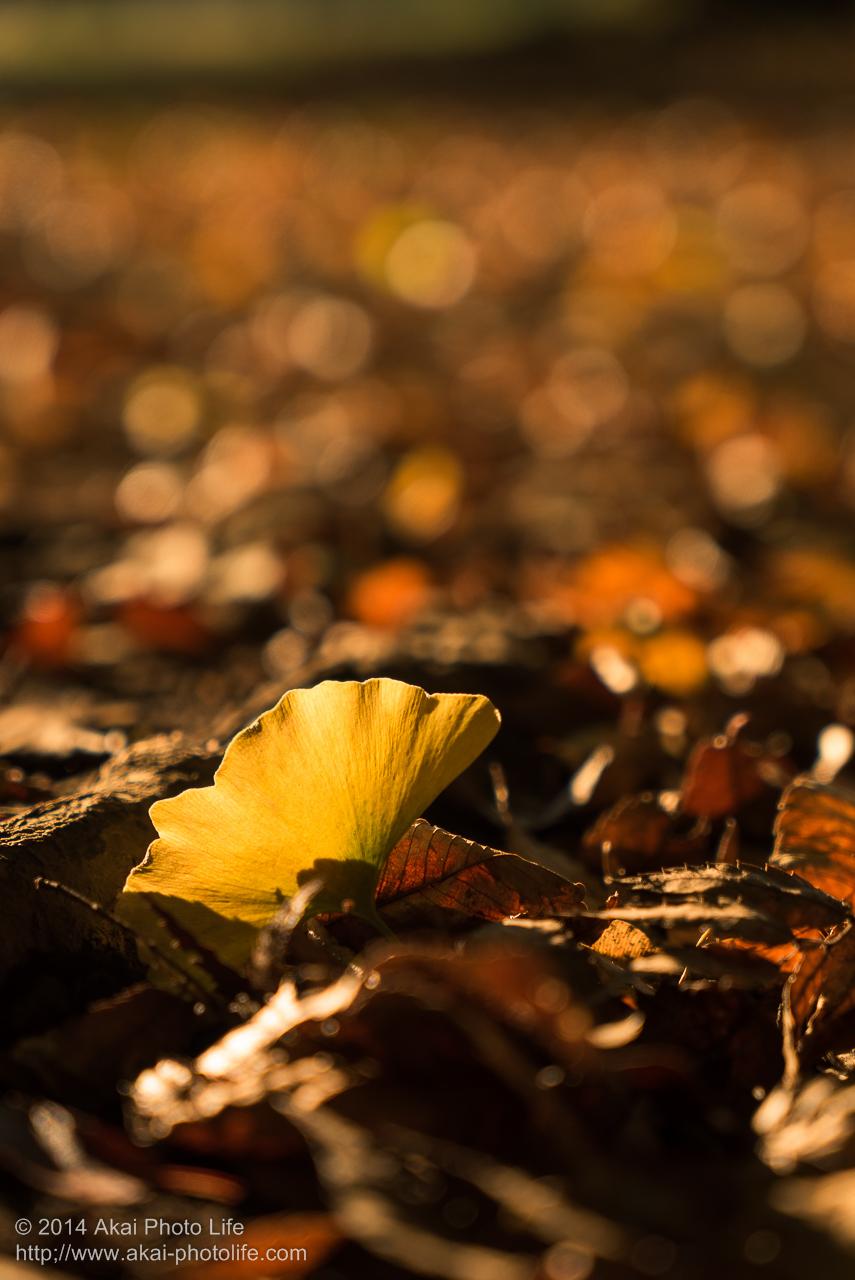 紅葉した銀杏の落ち葉